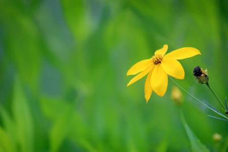 One Yellow Coreopsis Flower