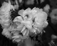 Softly Spring -- in Black and White