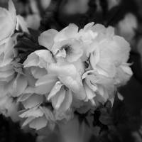 Softly Spring -- in Black and White by Patricia Schnepf