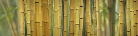 Yellow Bamboo Scape