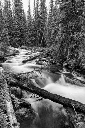 Pine Tree Forest Creek Portrait in Black and White