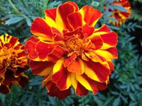 Red and yellow marigold flower photography