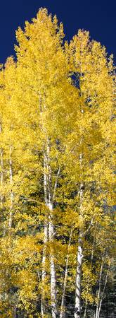 Aspen Tree Narrow_JF60486