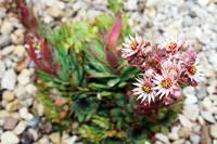 Hen and Chicks_0852