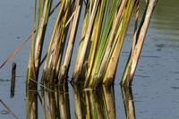 Cattail pond is reflected on the water surface