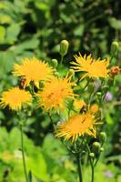 Dandelion Flower in a Garden