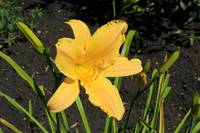 Yellow Lily in a Garden