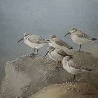 Resting Sanderlings 1 Painting