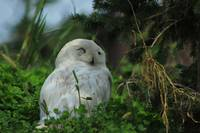 Snowy Owl in a Bush