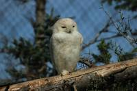 Snowy Owl in a Zoo