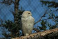 Snowy Owl With Turned Head