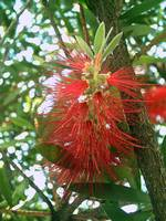 Bottle Brush Callistemon 3