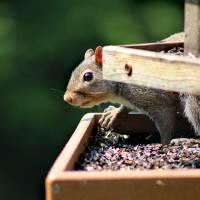 Squirrel Caught in the Act by Karen Adams
