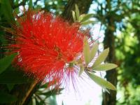 Bottle Brush Callistemon 4
