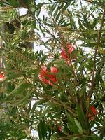 Bottle Brush Callistemon 6