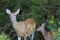 Whitetail Deer - Doe & Fawn