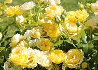 Sweet Yellow Roses by Carol Groenen