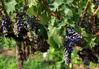 Grape Clusters in Vineyard