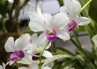 Bright White Orchids