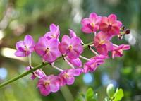 Sweet Pink Orchids by Carol Groenen