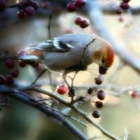 Pine Grosbeak 2 by Lisa Rich