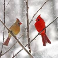"""""""Winter Cardinal Lovebirds"""" by daisyjoan"""