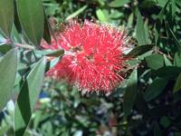 Bottle Brush Callistemon 9