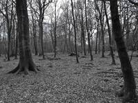 A Forest In Black & White