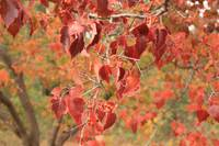 Beautiful Autumn Reddish Orange Leaves