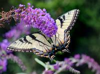 Eastern Tiger Swallowtail Butterfly 2015