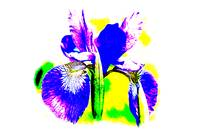 Japanese Iris Pop Art