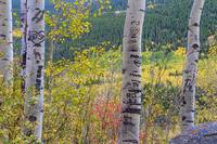 Carved Names and Initials in Autumn Aspen Trees