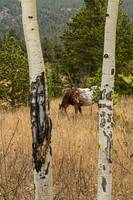 Beautiful Horse Through The Aspen Trees Portrait
