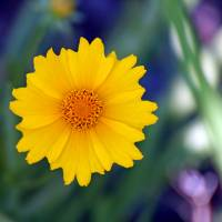 Coreopsis Flower Square by Karen Adams