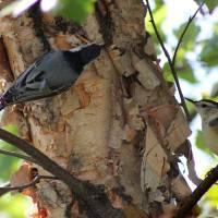 Two Nuthatch Birds by Karen Adams