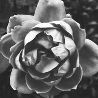 Black and White Rose -by Lisa Siddell