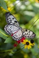 Peaceful Butterfly by Carol Groenen