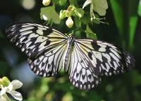 Pretty Paper Kite Butterfly b by Carol Groenen