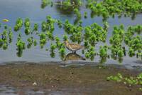 Pectoral Sandpiper in a Lake
