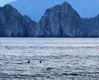 Orcas near Ragged Island 3