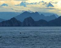 Orcas near Ragged Island 4