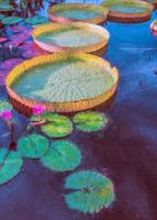 Water Lily Pattern
