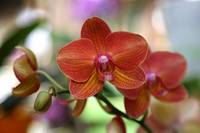 Orange Orchid with Colorful Background by Carol Groenen
