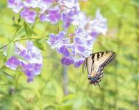 Flutter On the Fall Phlox