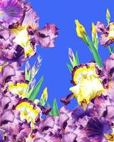 Purple Iris Blue Blue Sky