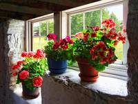 Three Pots of Geraniums on Windowsill