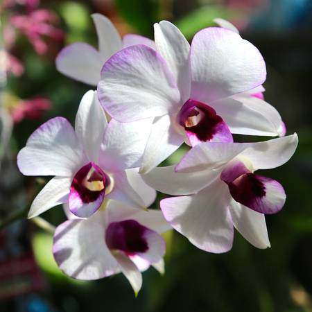 Orchid Square 2