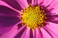Pink Cosmos Close-up