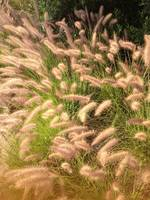 Furry Grass