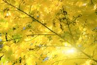 Golden autumn leaves